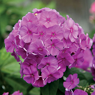 Phlox Purple Flame