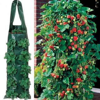 Whopper Strawberry Plants & 2 Growin BagsImage