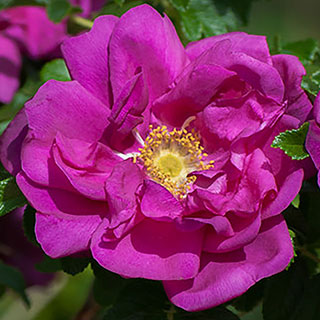Rosa Purple Pavement