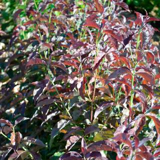 Cornus Ragin Red™