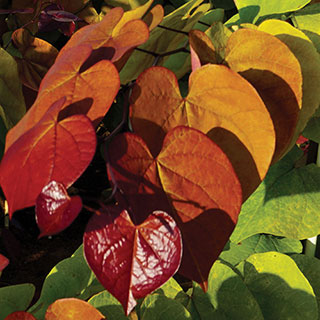 Cercis Flame Thrower® Image