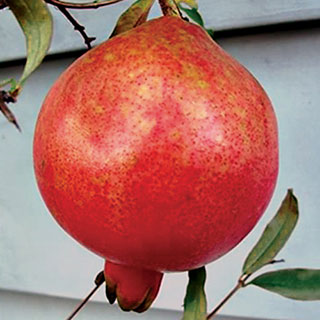 Punica Pomegranate Parfianka