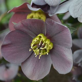 Helleborus Vegas Nights HONEYMOON® Series