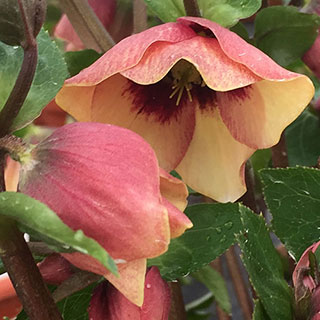 Helleborus Sandy Shores HONEYMOON® Series