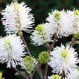 Fothergilla Mount AiryImage