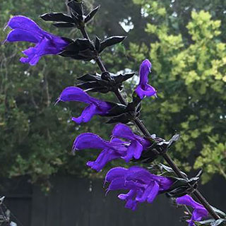 Salvia BODACIOUS® Rhythm & Blues