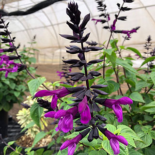 Shop All Salvia (Ornamental Sage)