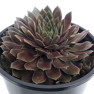 Sempervivum SUPERSEMP™ Ruby