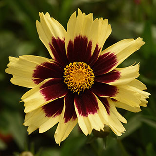 Coreopsis Super Star