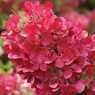 Hydrangea Rendia First Editions® Diamond Rouge®