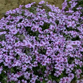 Phlox Eye Candy