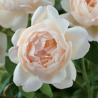 Rosa Wollerton Old Hall™Image