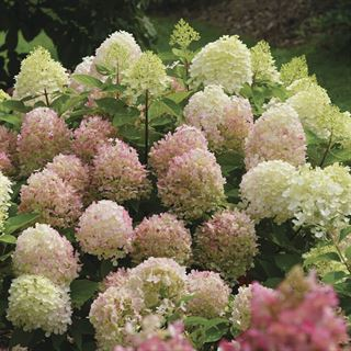 Hydrangea FIRE LIGHT TIDBIT™