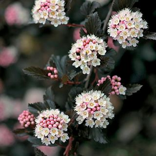 Physocarpus Summer Wine®