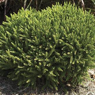 Cryptomeria Dragon Prince™