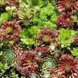 Sempervivum Hippie Chicks