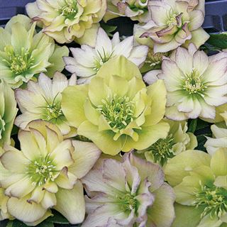 Helleborus First Dance Wedding Party®