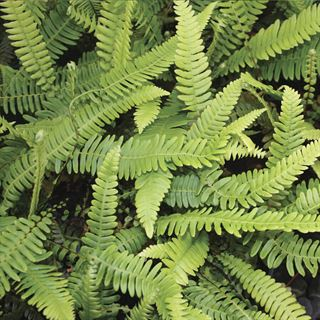 Shop All Hardy Ferns