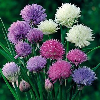 Allium Ornamental One Mix