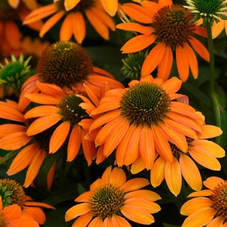 Echinacea Artisan™ Soft Orange