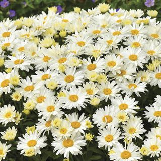 Shop All Leucanthemum (Daisy)