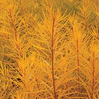 Amsonia Butterscotch