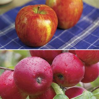 Honeycrisp™ Apple Tree Kit