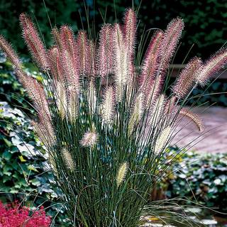 Shop All Ornamental Grasses