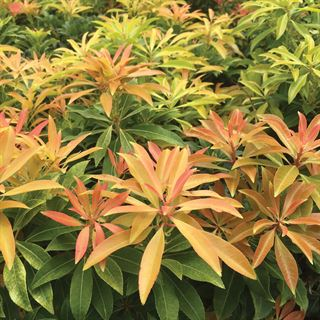 Pieris Forest Flame