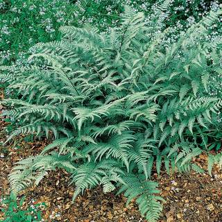 Athyrium Branford Beauty