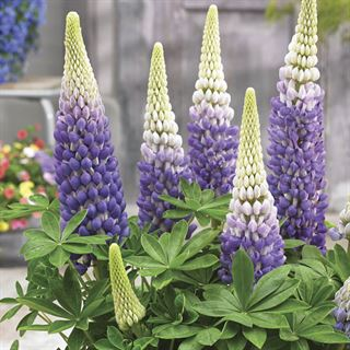 Lupinus WESTCOUNTRY™ Persian Slipper