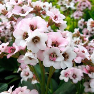 Bergenia Dragonfly™ Angel Kiss