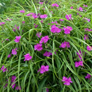 Tradescantia Red Cloud
