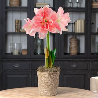 Single Rozetta Amaryllis