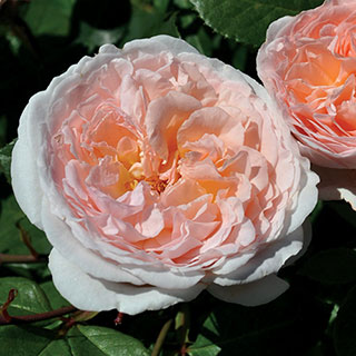 Bliss™ Parfuma® Hybrid Tea Rose