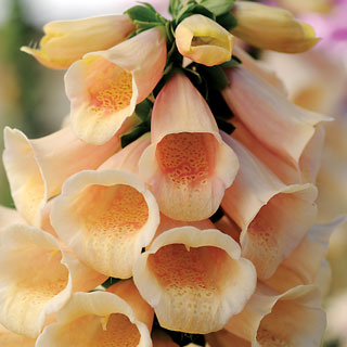Digitalis Dalmatian Peach