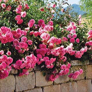 Petal Pushers™ Groundcover Rose