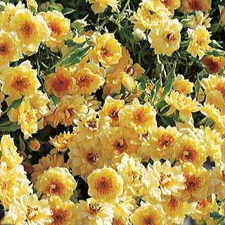 Yellow Ribbons® Groundcover Rose