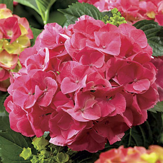 Hydrangea Next Generation® Red Sensation