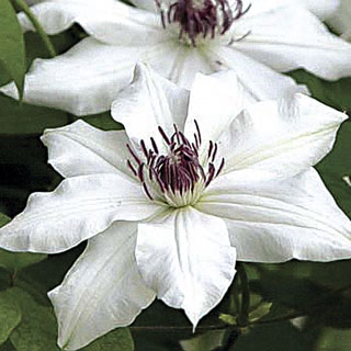 Clematis Vancouver™ Fragrant Star