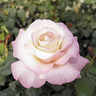 Crescendo™ Hybrid Tea Rose