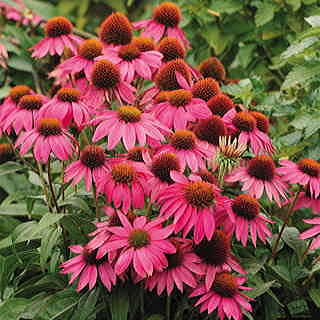 Echinacea PowWow® Wild Berry