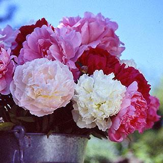 Paeonia Bushel of Blooms Mix