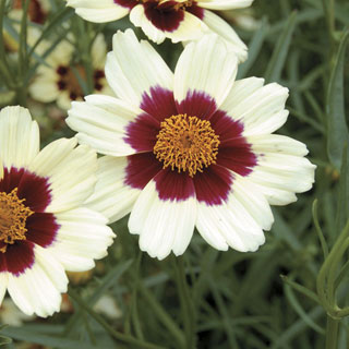 Coreopsis SnowberryImage