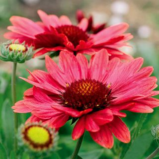 Gaillardia Arizona Red Shades