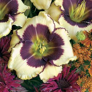 Hemerocallis Blackthorne