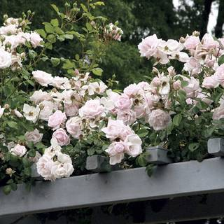 New Dawn Climbing Rose