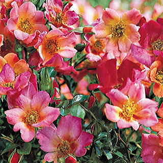 Happy Chappy Groundcover Rose