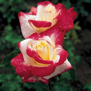 Double Delight 36-inch Tree Rose