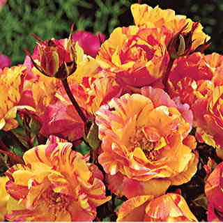 Citrus Splash™ Shrub Rose